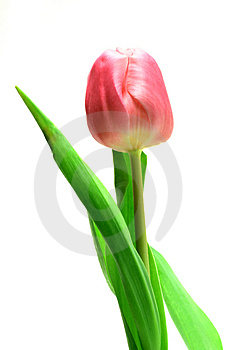 Beautful tulips on a white Royalty Free Stock Photos