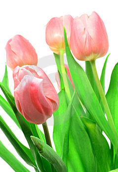 Beautful tulips on a white