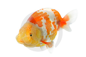 Lion Head Goldfish Stock Images - Image: 2984554