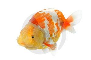 Lion Head Goldfish Stock Images - Image: 2984554