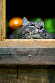 Big Fluffy Grey Cat Royalty Free Stock Images - Image: 2994619