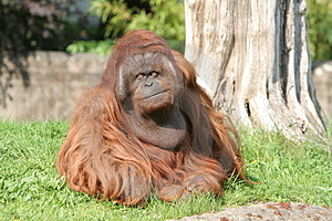 Lonely Sad Ape Royalty Free Stock Photo - Image: 2999465