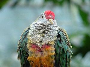 Jambu Fruit Dove Stock Image - Image: 30131