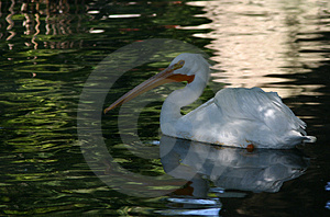 Pelican on the water Royalty Free Stock Images