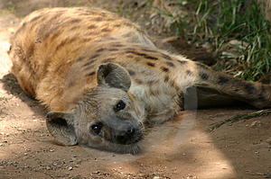 Resting hyena Royalty Free Stock Photo