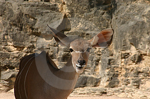 Greater Kudu Stock Photo - Image: 32470
