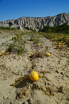 Melon / pumpkin garden in cappadocia Royalty Free Stock Image