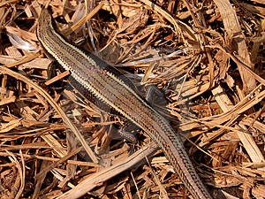 Lizard Free Stock Images