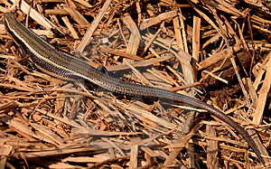 Lizard 2 Stock Photo - Image: 33070