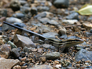 Skink On The Road Stock Image - Image: 33211