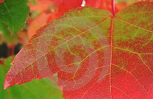 Green-now Red, Autumn Leaf Free Stock Photo