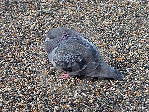 Pigeon Trembling Royalty Free Stock Photo - Image: 35645