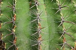 Cactus - surface Royalty Free Stock Photo