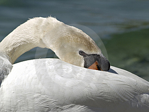 Resting Swan Free Stock Photos