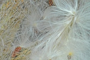 Milkweed Photos stock