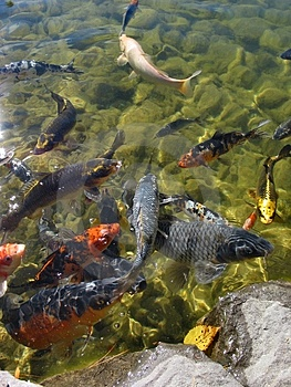 Hungry Coy Fish Stock Images - Image: 37984