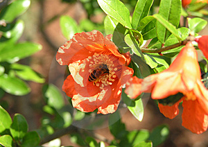 Bee In A Flower Free Stock Photos