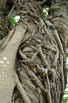Strangler Fig Stock Photos