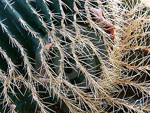 Cactus thorns Stock Photo