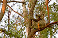 Sunset strip koala Stock Image