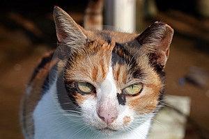 Cat Close Up Stock Photography
