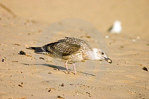Seagull On The Beach Royalty Free Stock Photo - Image: 301015