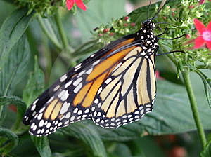 Monarch Royalty Free Stock Image - Image: 306446