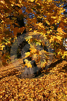 Golden Maple Tree Stock Photos - Image: 308913