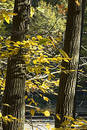 Autumn Yellow Leaves