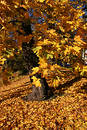 Golden maple tree