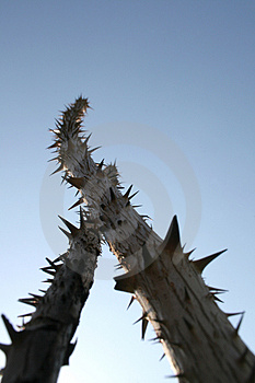Sticks With Thorns Stock Photography - Image: 3005742