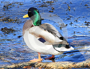 Male Duck Stock Photo - Image: 30197370