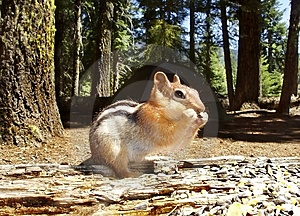 Chipmunk, The Uninvited Guest Stock Images - Image: 3022094