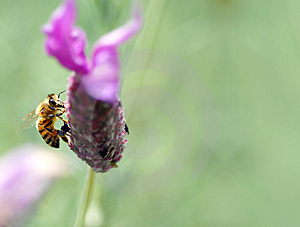 Honey Bee, On Tufted Vetch (Vi Royalty Free Stock Image - Image: 3026036