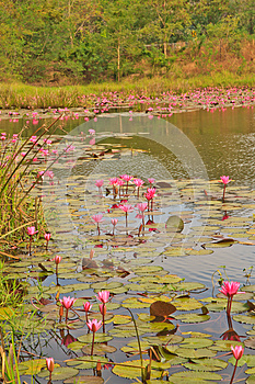 Pink Lotus Royalty Free Stock Photography - Image: 30200837