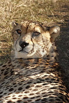 Cheetah Lying In The Shade Royalty Free Stock Photography - Image: 3030317