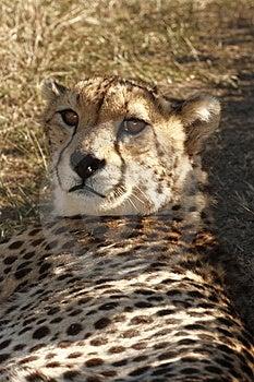 Gepard, Der Im Schatten Liegt Lizenzfreie Stockfotografie - Bild: 3030317