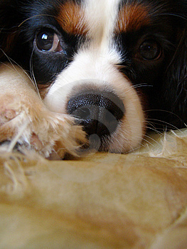 King Charles Spaniel puppy Stock Images