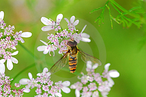 Bee Royalty Free Stock Photography - Image: 3049517