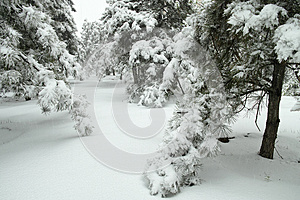 Winter Pinewood Royalty Free Stock Images - Image: 30545039