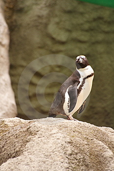 Penguin Royalty Free Stock Photos - Image: 3071218