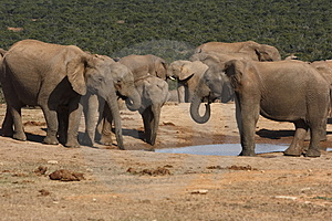 Elephants Gathering Royalty Free Stock Photography - Image: 3075397