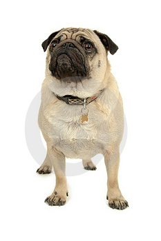 Pug over white Stock Photos