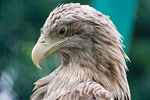 Feathery Predator Royalty Free Stock Images - Image: 3087209