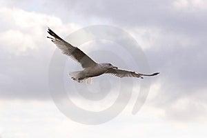 Soaring Seagull Stock Image - Image: 314871