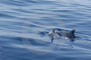 Couple Of Dolphins Stock Photography - Image: 3104582