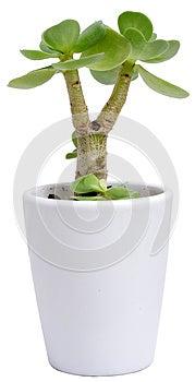 Малое Portulaca Molokiniensis Стоковое Изображение - изображение: 31211861