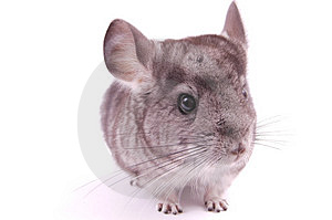 Young Chinchilla Stock Photo