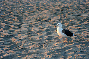 Beach Seagull Stock Photos - Image: 3147703