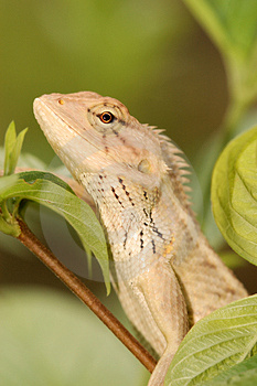 Changeable Lizard Royalty Free Stock Images - Image: 3148439